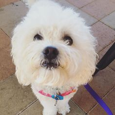 Just a sweet little girl and her milk beard  Elsa is 3 today!  We were so lucky to be gifted with such a gorgeous little Pupper who loves us as much as we love her   Happy Birthday little cub. Every day is better with you in it   Swipe for more Elsa cuteness  #cavoodle #cavapoo #mypupper #sunshinecoast #sunnycoast #dogsofnoosa #Australia #aussiedogsrule #dogsofaustralia #lovedogs #lovepuppies #doglover  #dogsofbrisbane #dogsofmelbourne #dogsofsydney #dogproducts