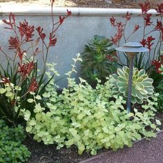 "Kangaroo Paw with bright lime Helichrysum petiolare 'Limelight' or Licorice Plant. Also pictured ""Sunburst"" AeoniumRed Kangaroo Paw with bright lime Helichrysum petiolare 'Limelight' or Licorice Plant. Also pictured ""Sunburst"" Aeonium Low Water Landscaping, Succulent Landscaping, Landscaping Plants, Front Yard Landscaping, Landscaping Ideas, Modern Landscaping, Australian Native Garden, Cactus, Gardens"