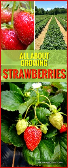 to grow strawberry plants? Strawberry plants are low growing perennials wit How to grow strawberry plants? Strawberry plants are low growing perennials wit. How to grow strawberry plants? Strawberry plants are low growing perennials wit. Strawberry Beds, Strawberry Planters, Strawberry Garden, Strawberry Patch, Fruit Garden, Garden Plants, Strawberry Plant Care, Fruit Plants, Organic Vegetables