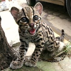So want this kitty! This is a Margay Cat. The markings are almost identical to those of the larger Ocelot. The Margay can be distinguished from Ocelots by their larger eyes, more rounded head and longer tail. Home in Central America. Crazy Cats, Big Cats, Cats And Kittens, Cats Meowing, Ocelot, Baby Animals, Funny Animals, Cute Animals, Smiling Animals