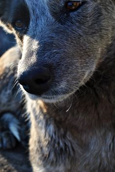 lovely portrait of a blue heeler