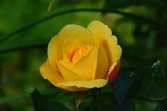 Aamun ruusut  Lampion