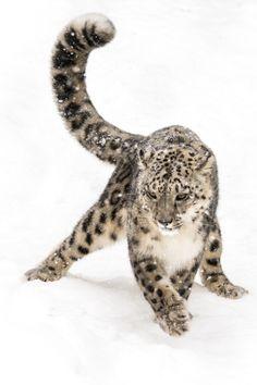 beautiful-wildlife:Snow Leopard on the ProwlbyAbeselom Zerit