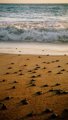 #44 Kosgoda Turtle Hatchery, Sri Lanka. Established in 1988 to protect Sri Lanka's turtles from extinction it has since released around 3.5 million baby turtles into the wild. The hatchery buries the eggs in sand, and when they hatch around 50 days later the baby turtles are released into the sea at night. (www.heritancehotels.com)