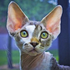 """A Pinner Wrote: """"my devon rex as a kitten. Such a beautiful face. Cute Cats And Kittens, I Love Cats, Crazy Cats, Cool Cats, Devon Rex Kittens, Kobold, Cornish Rex, Cat Pose, Beautiful Cats"""
