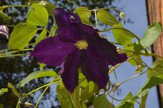 Viola  kärhö