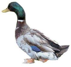 A pet duck!  (Rouen duck from www.californiahatchery.com)