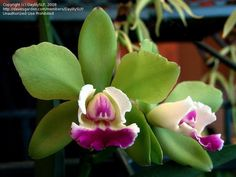 Green Cattleya Orchid Flower | Full size picture of Orchid, Cattleya Green Veil 'Dressy' ( Cattleya )
