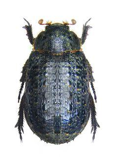 Trox sabulosus-Famille des Trogidés