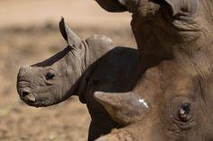 """Siempre bajo la atenta mirada de su madre, Tanda. """"White Rhino"""" nació hace 3 semanas en el Ramat Safari Park. Su nacimiento es un acontecimiento importante porque hace más de 20 años que no se presentaba al mundo un cría de rinoceronte en Tel Aviv."""