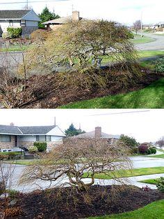 nick11_befaft93sm Pruning Japanese Maples, Garden, Design, Garten, Lawn And Garden, Gardens, Gardening, Outdoor, Tuin