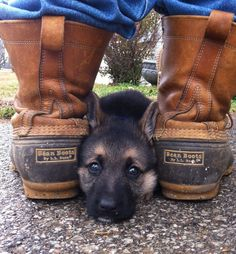 Bean Boots and an 8-week old GSD puppy.