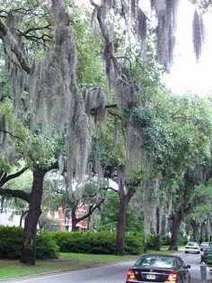 Savannah, GA - Spanish Moss