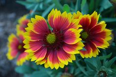 Is it a flower or a painting? Blanket flower.