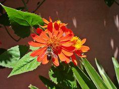 Butinage, jardin de Majorelle, Marrakech
