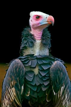 vulture