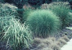 U of Illinois Extension site on care/feeding of ornamental grasses...and we have bunches!