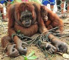 Boycott palm oil! This picture captures the last tragic minutes of the adult ape's life - after a frenzied mob beat her, pelted her with rocks then tried to drown her in a swimming pool.    Her crime? She was caught scavenging for fruit to feed her malnourished daughter on the outskirts of a ramshackle village in Borneo, December 2010.