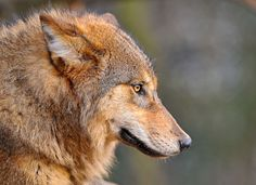 Another wolf profile portrait... by Tambako the Jaguar, via Flickr