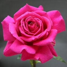 """big purple rose. intense fragrance that rivals the best this strong upright well foliaged continual blooming plant with mid green foliage produces 6"""" blooms. http://www.heirloomroses.com/big-purple.html"""