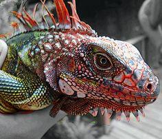iguanas are really interesting animals. true dinosaur throwbacks. wow! so amazing :)