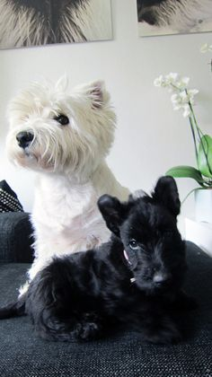 and Snooki Ronja and Snooki. It is my dream to own a Westie and a Scottie just like these two.Ronja and Snooki. It is my dream to own a Westie and a Scottie just like these two. Cute Puppies, Cute Dogs, Dogs And Puppies, West Highland Terrier, Yorshire Terrier, White Terrier, Terrier Puppies, Baby Animals, Cute Animals