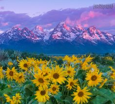 Just got back recently from a long trip to the Grand Tetons to shoot wildflowers. I have made this trip in the past but have been too early or late. This year I got lucky and found more then my shore.. thanks for looking - it is much appreciated !