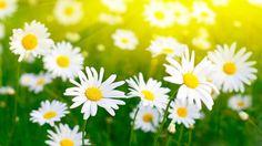 Daisy Flower HD Wallpaper For Desktop Daisy Wallpaper, Field Wallpaper, Wallpaper Pictures, Cool Wallpaper, Latest Wallpaper, Nature Wallpaper, Good Morning Flowers Pictures, Beautiful Flowers Pictures, Good Morning Images