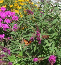 Monarch on Buddleia 7/23/15