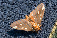 Royal Walnut Moth or Regal Moth by Crystall Pearson   moth   grey orange yellow