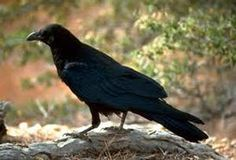 The Crow - Keeper of the Sacred Law (& one of my spirit guides) Animal Spirit Guides, Spirit Animal, Friedrich Nietzsche, Crow Totem, Los Primates, Quoth The Raven, Jackdaw, Crows Ravens, Rabe