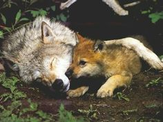 baby wolf and momma