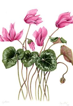 Botanical Drawings | Botanical illustrations by Margaret Best | Cyclamens