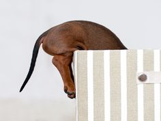 dachshund of the week