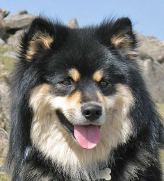 Breeding Finnish Lapphunds with love and care since based in south west England, UK. Love Pet, I Love Dogs, Cute Dogs, Funny Dogs, Funny Animals, Cute Animals, Baby Dogs, Dogs And Puppies, Doggies