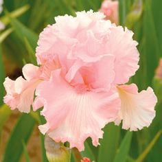 June Krausse Tall Bearded Iris  This exciting delectable flamingo pink self is sure to be the star of your garden. Its sharp pink tone is not light but rather vivid seashell pink.