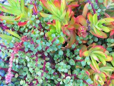 Saturday, April 6 - Sunday, April 7 - Annual Connecticut Cactus and Succulent Show and Sale Colorful Succulents, Colorful Plants, Planting Succulents, Planting Flowers, Succulent Plants, Air Plants, Potted Plants, Cactus, Outdoor Pots