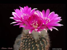 cactus flowers pictures | Cactus Flower 2 - Essentials Cafe