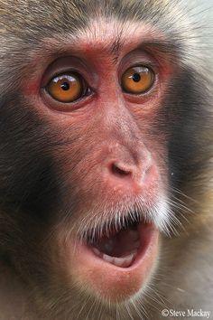 Japanese Macaque by Steve Mackay.  Perfect teeth!