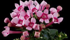 Bouvardia - Pyramid Flowers
