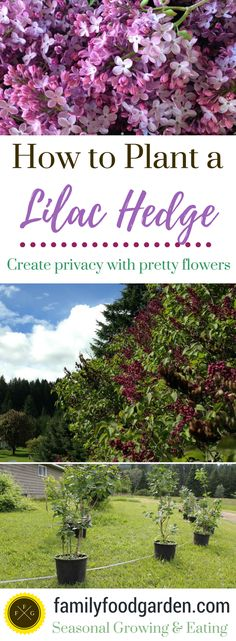 How to Plant a Lilac Hedge