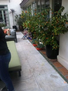 This is my friends yard.I would like to do 2 big pots like this with dwarf fruit trees on our patio but something we would use, not kumquat. Maybe tangerine or orange? Kumquat Tree, Dwarf Fruit Trees, Vegetable Garden, Pots, Yard, Landscape, Big, Friends, Outdoor Decor