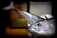 Uno de los verdaderos placeres de trabajando en Los Abrigos, pescado fresco! Compramos varios tipos de atún, ahora mismo tenemos rabil.  One of the true pleasures of working in Los Abrigos, fresh fish! We buy varios types of tuna, right now we have yellowfin tuna.