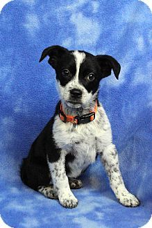 Westminster, CO - Border Collie Mix. Meet DENISE, a puppy for adoption. http://www.adoptapet.com/pet/17086888-westminster-colorado-border-collie-mix