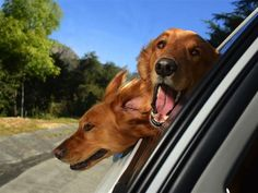 Photographer Captures the Excitement of Dogs Looking Out of Car Windows