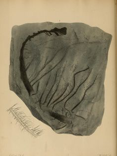 A pictorial atlas of fossil remains : - Biodiversity Heritage Library