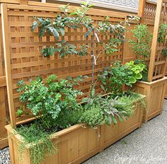 A custom built cedar planter with integral trellis supports an espaliered apple tree and plenty of herbs for the kitchen. Design by Le jardinet