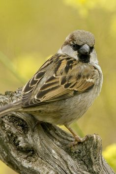 Title - Little Brown Bird - Sparrow