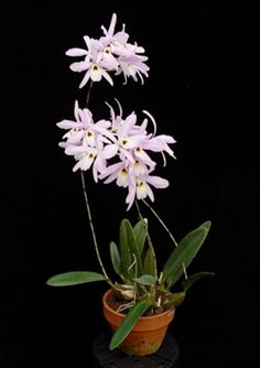 Laelia rubescens presented by Orchids Limited