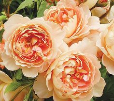 Antique beauty matched with a modern repeat-flowering habit are the keynotes of hybridizer David Austins Roses, and Carding Mill® is an outstanding example of his achievement. Full, slightly nodding blossoms with about 80 petals appear apricot but combine shades of pink and yellow and are deep apricot inside when they first open. Their rich myrrh perfume and the leaves disease resistance are also welcome. Own-root. 'Auswest'  British rosarian David Austin has bred these exceptional varieties…